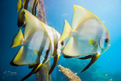 03_Batfish-under-Jetty