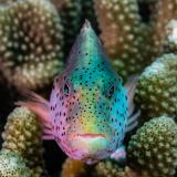 04_Blackside-Hawkfish-in-Maledives