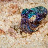 05_Bobtail-Squid-in-Pasir-Putih