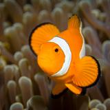 08_Clownfish