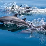 11_Dolphins-in-Dampier-Strait