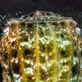 16_Giant-Squid-in-Nusa-Lembongan