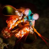 26_Peacock-Mantis-in-Raja-Ampat