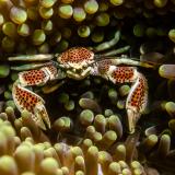 28_Porcelain-Crab-in-Komodo
