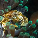 29_Porcelain-Crab-in-Nusa-Lembongan